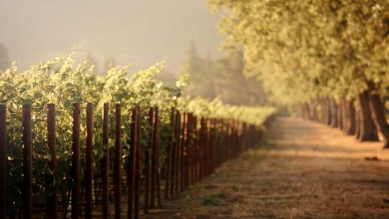 Countryside vineyard tree lane at dawn wallpaper