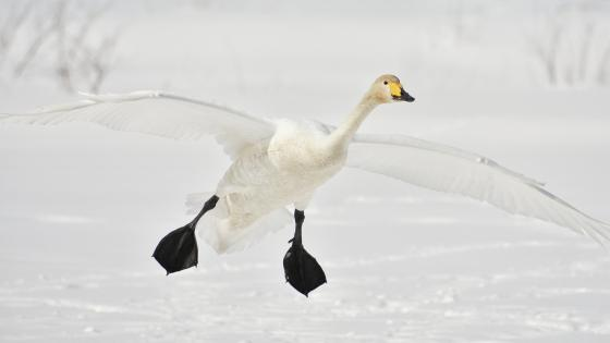 White geese flying in the snowy field wallpaper