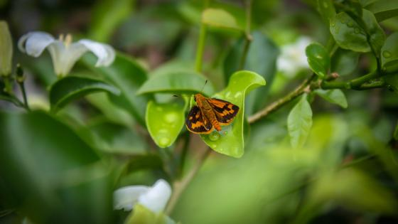 Sri lankan butterfly wallpaper