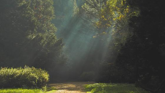 Rays of light in the forest wallpaper