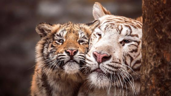 Tiger cub with his mom wallpaper