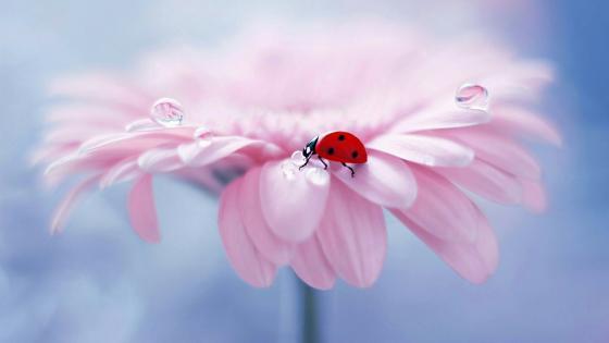 Ladybug And Dew on a pink gerbera wallpaper