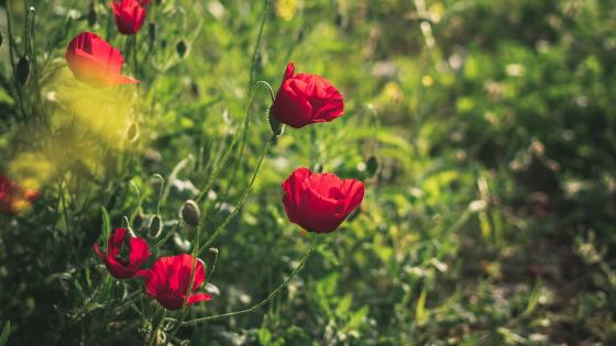 Red poppies for summer moods wallpaper