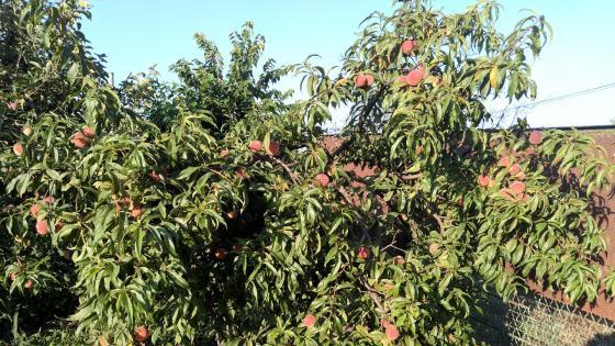 Peach tree wallpaper