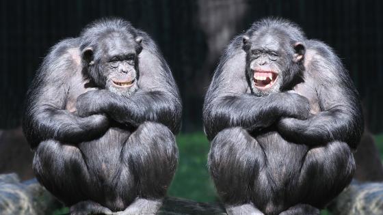 Chimpanzee friendship wallpaper