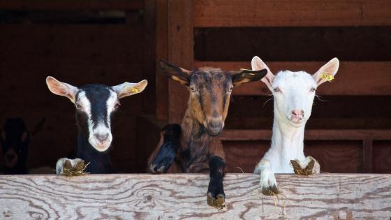 Goats wallpaper