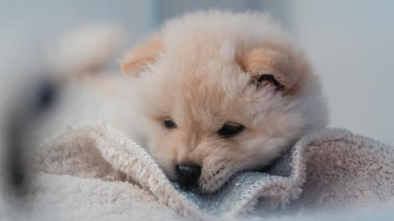 Cute puppy Waiting wallpaper