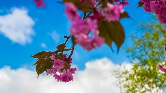A Bougainvillea before the Swedish blue sky wallpaper