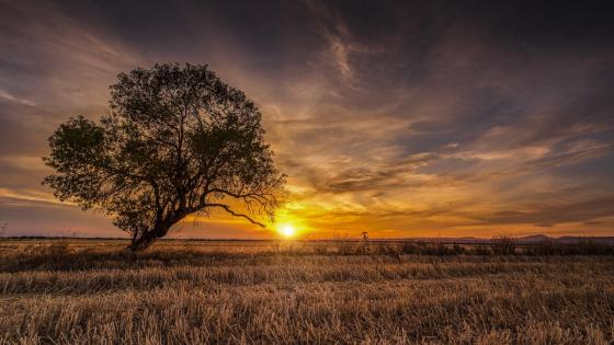Solitary tree in the sunset wallpaper