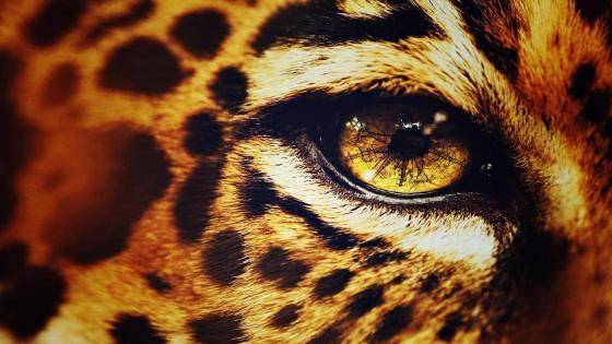 Cheetah eye wallpaper