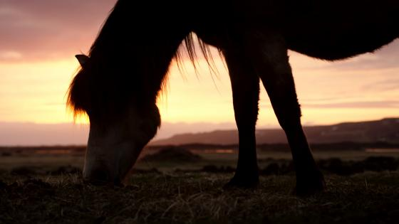 Horse under sunset wallpaper