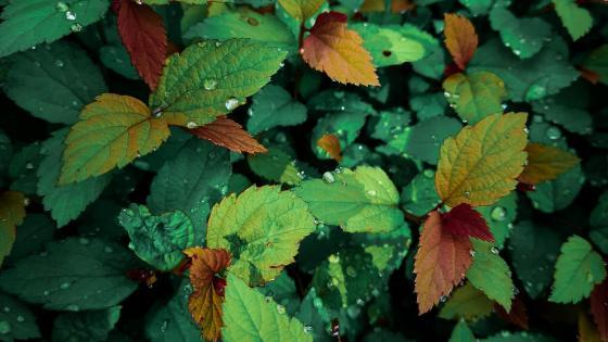 Nettle Leaves wallpaper