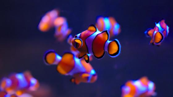 Clownfishes close-up wallpaper