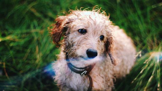 Goldendoodle dog with wet fur wallpaper