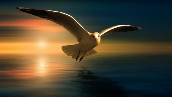 Seagull in the sunset wallpaper