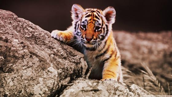 Tiger cub on a rock wallpaper