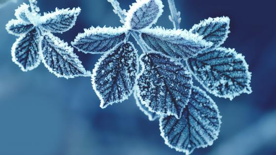 Frozen Leaves wallpaper