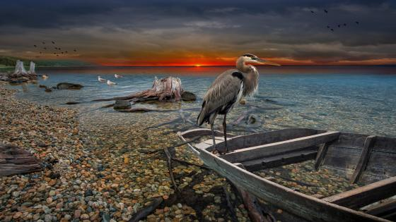 Great Blue Heron on a boat wreck wallpaper
