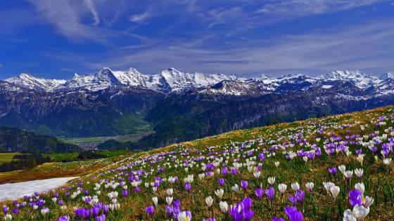 Spring crocus field in Männlichen (Switzerland) wallpaper