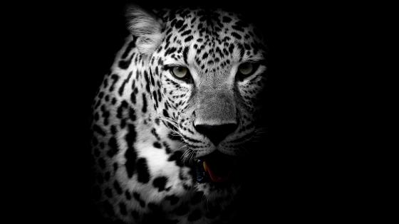 Monochrome leopard wallpaper