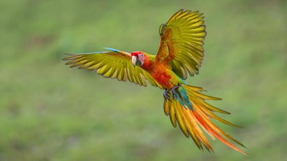 Flying macaw wallpaper