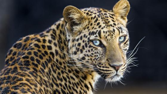 Jaguar looks back wallpaper