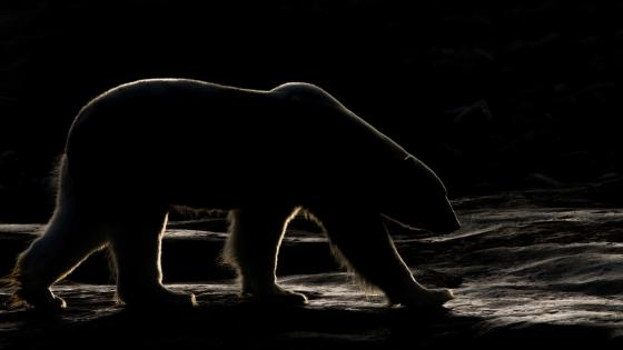 Polar bear in the darkness wallpaper