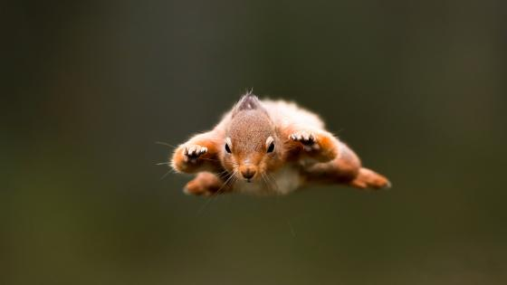 Flying squirrel wallpaper