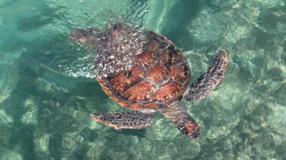 Turtle in Fresh Sea Water wallpaper