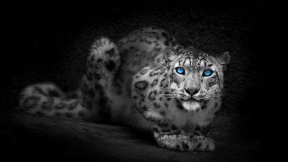 Snow leopard with blue eyes wallpaper
