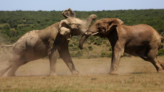 Bull Elephants Fighting wallpaper