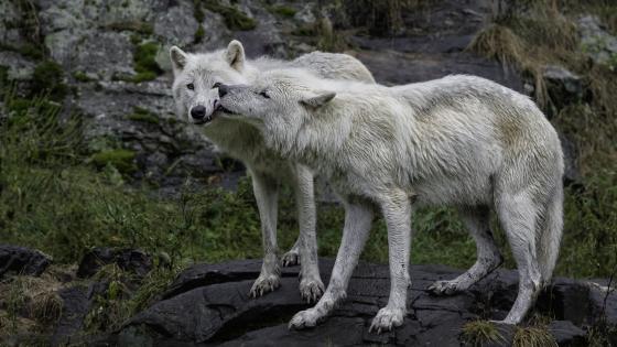 Alaskan tundra wolves wallpaper