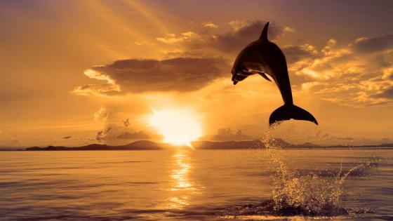 Jumping dolphin at sunset wallpaper
