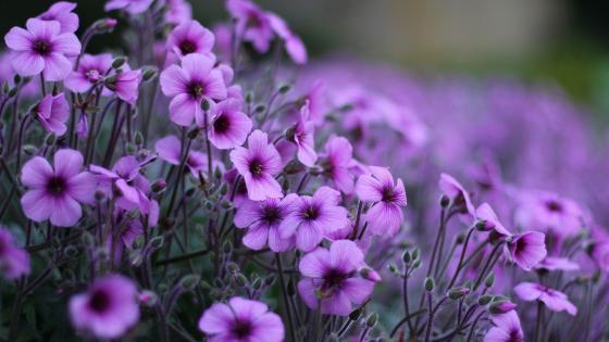 campo de flores  wallpaper