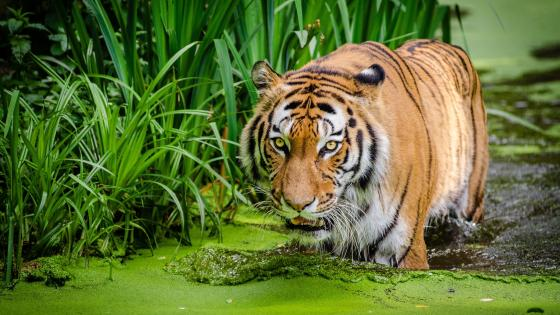 Tiger in the marsh wallpaper