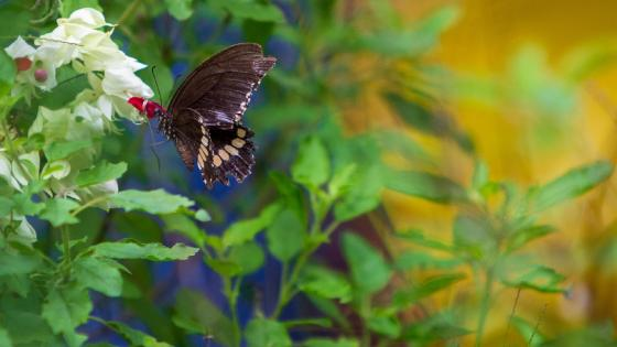 Butterfly drinking Nectar wallpaper