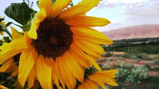 sun flowers wallpaper