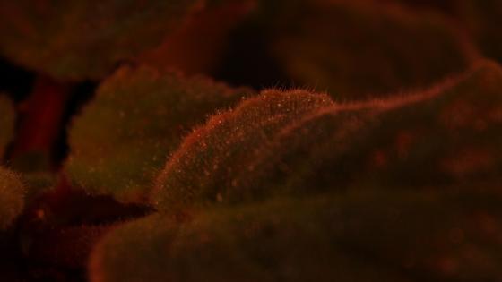 роса на листьях Фиалки wallpaper