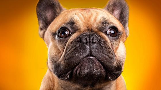 Bulldog Portrait wallpaper