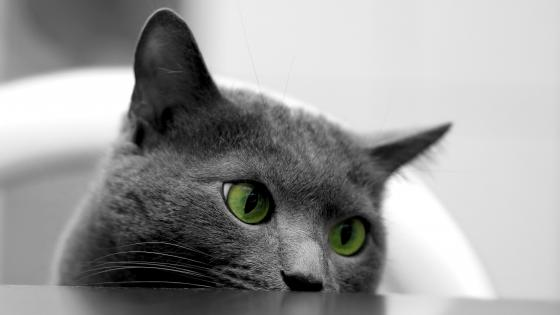 British shorthair cat with green eyes wallpaper