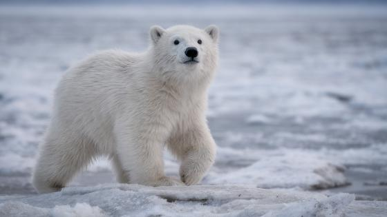 polar bear cub wallpaper