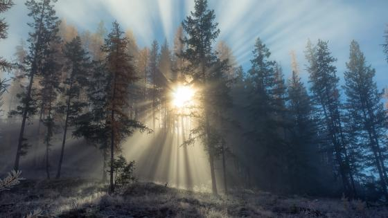 Forest at dawn wallpaper