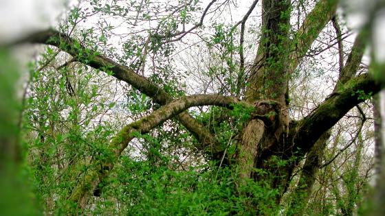 Tortuous tree wallpaper