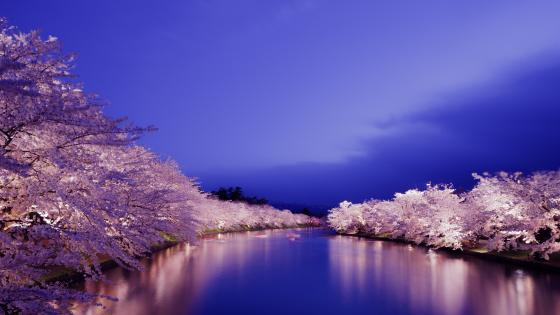 Cherry blossom at night wallpaper