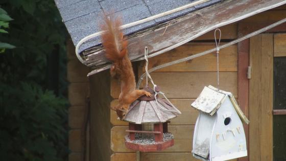 Eichhörnchen auf Futtersuche wallpaper