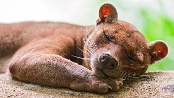 Cute Sleeping Fossa wallpaper