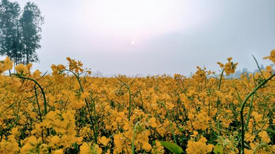 Mustard flowers  wallpaper
