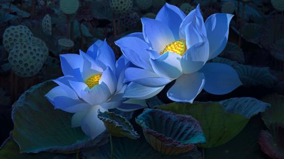 Blue lotus flowers wallpaper