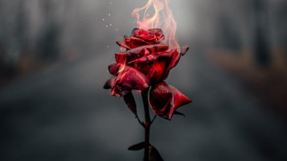 Burning Rose wallpaper