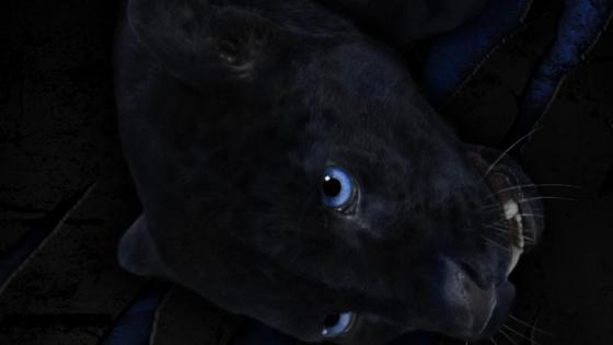 Black jaguar beauty blue eye wallpaper